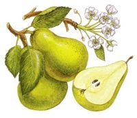 Fruti_dhe_lulja_e_dardhes