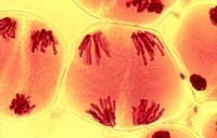 kromosomet1